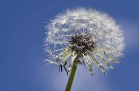 close up of dandelion against sky